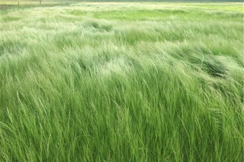 Hay and Forage Balers Teff bales
