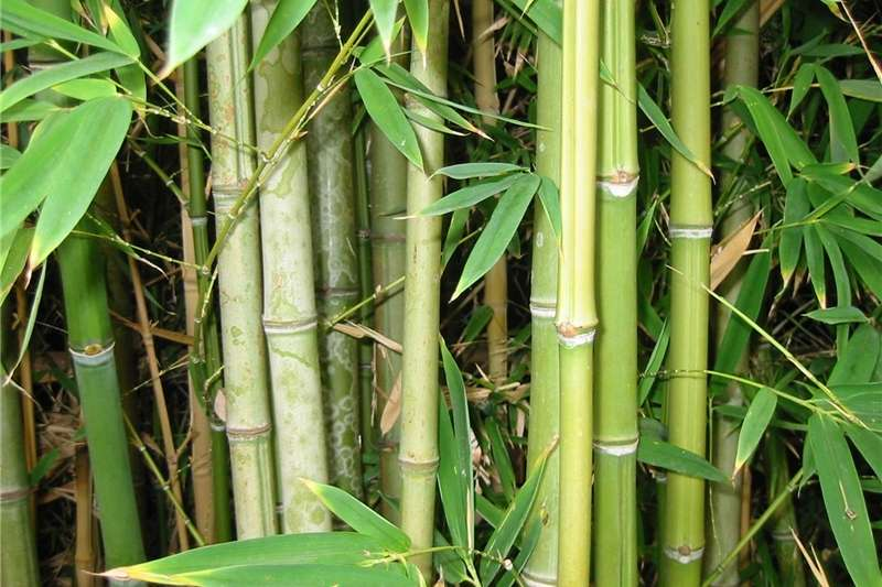 Hay and Forage Other Hay and Forage BAMBOES / BAMBOO