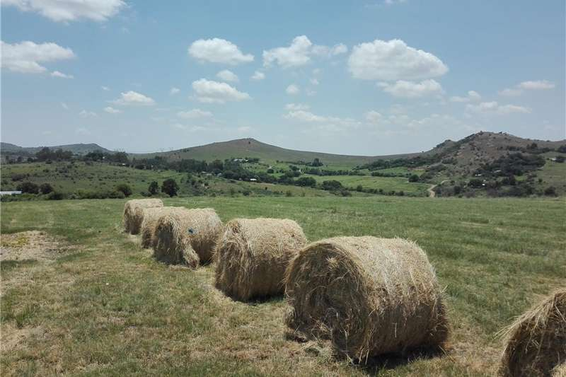 Hay and Forage Other Hay and Forage Grade A Fertilized Eragrostis Bales