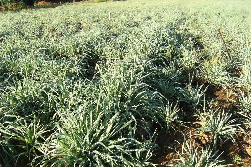 Other hay and forage Plant nou Russiesegras (Phalaris SP) immergroen we Hay and forage