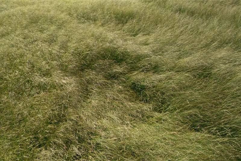 Hay and Forage Other Hay and Forage Teff Bales for Sale