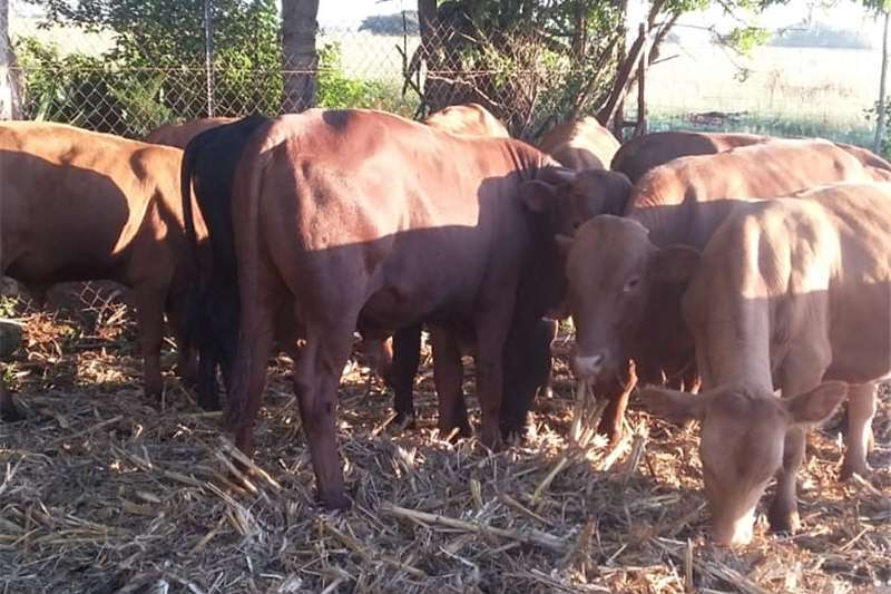 Cattle 11 Very good Bonsmare type feedlot bull calves for Livestock
