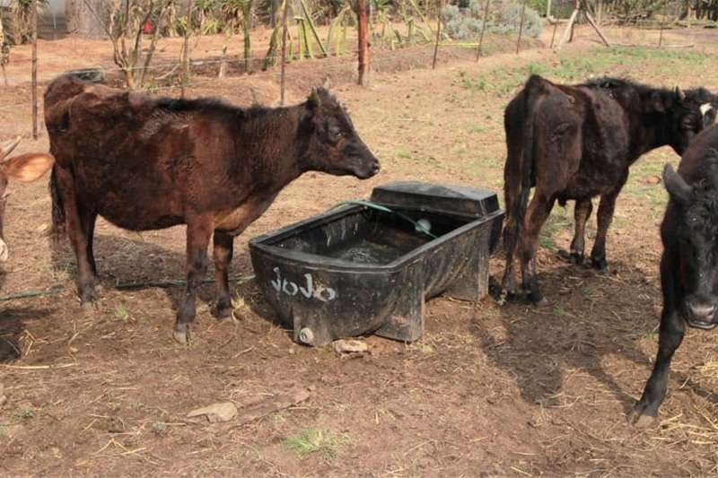 Cattle Beef X Cattle for sale Livestock