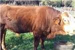 Livestock Cattle Bul te koop