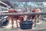 Livestock Cattle Bulkalfies
