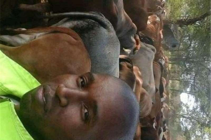 Livestock Cattle cattle for sale