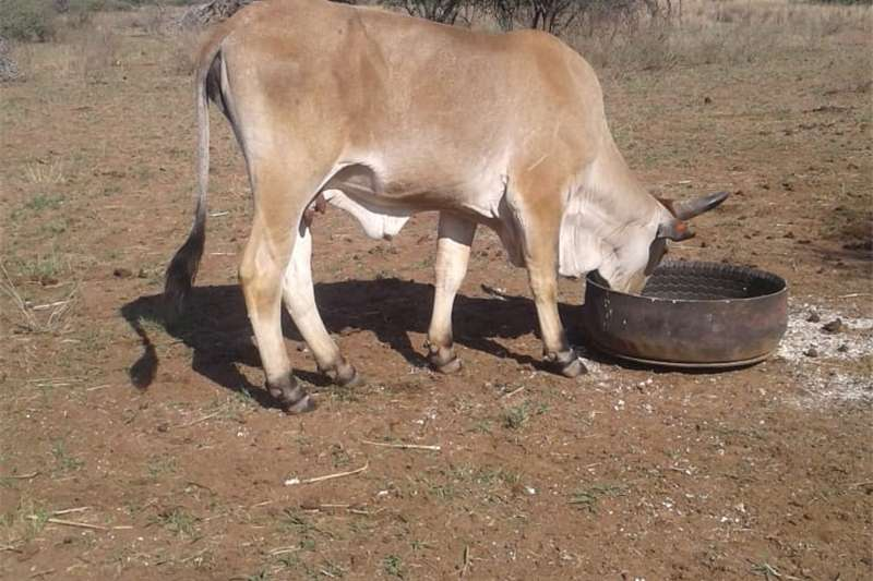 Livestock Cattle Cow for sale in Polokwane (Dalmada)