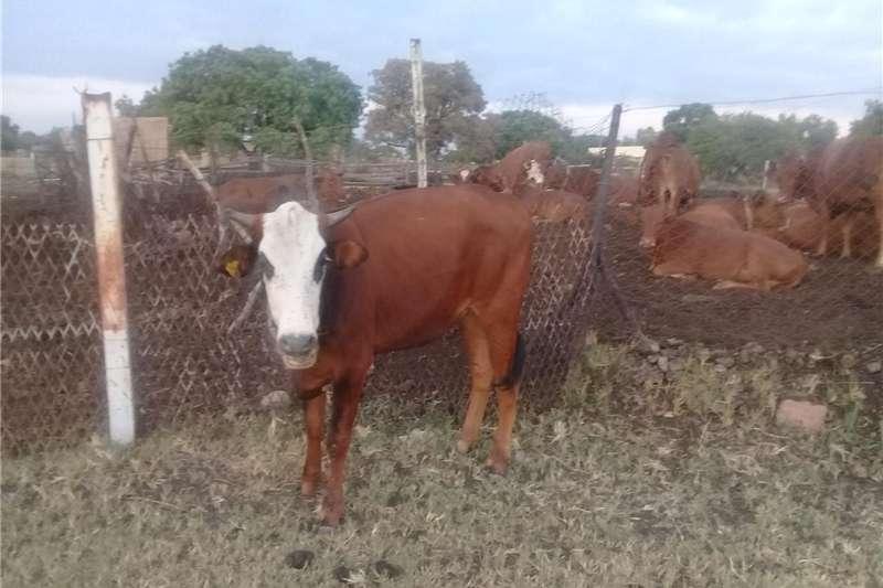 Cattle Heifer for sale Livestock