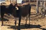 Livestock Cattle Heifers for sale