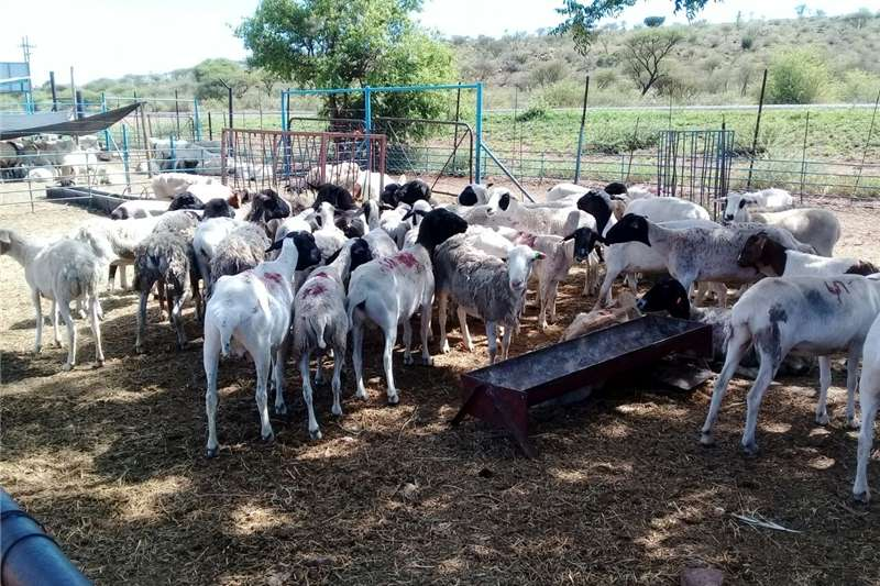 Cattle More than 400 cattle 1000 goats and 600 sheep on a Livestock