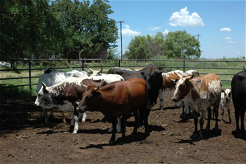 Livestock Cattle Ngni Cattles for sale