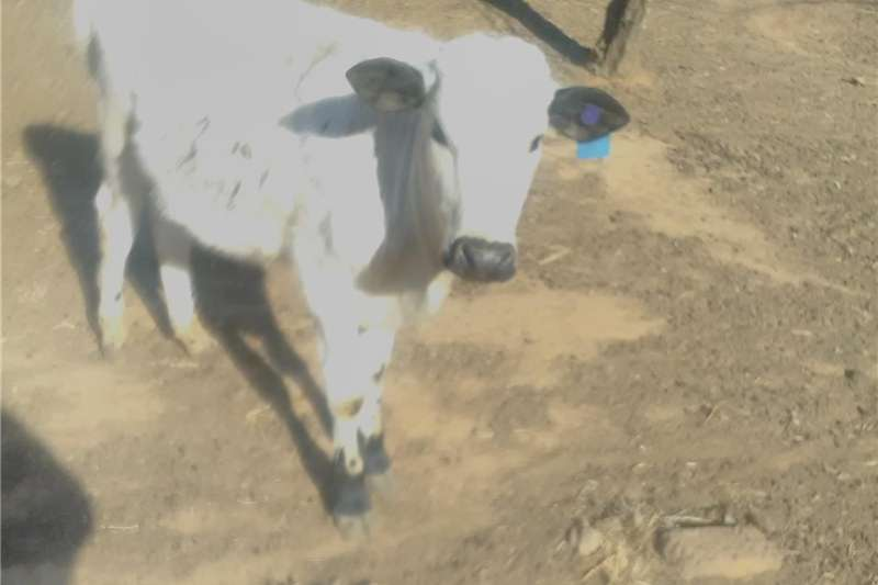 Livestock Cattle Nguni Bull young