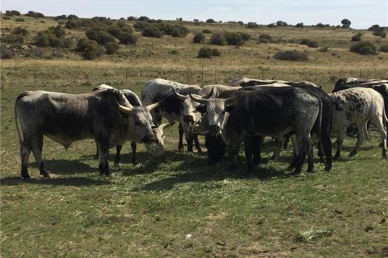 Livestock Cattle Nguni Cattle