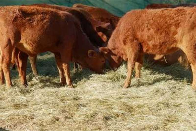 Cattle Weaned mix beef calves Livestock