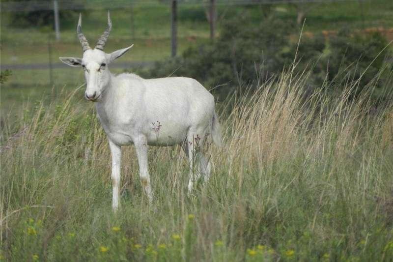 Livestock Game Blesbuck ram (White)