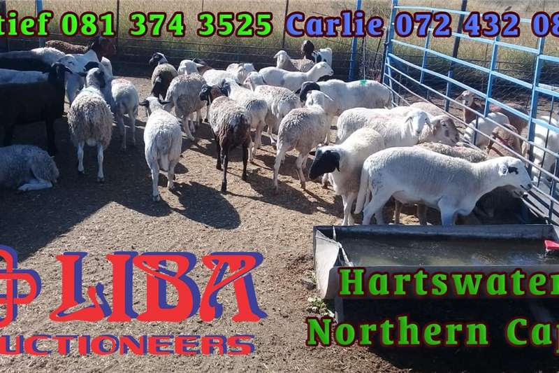 Livestock Goats 1000s of goats and sheep available this Wednesday