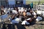 牲畜山羊20只待售山羊