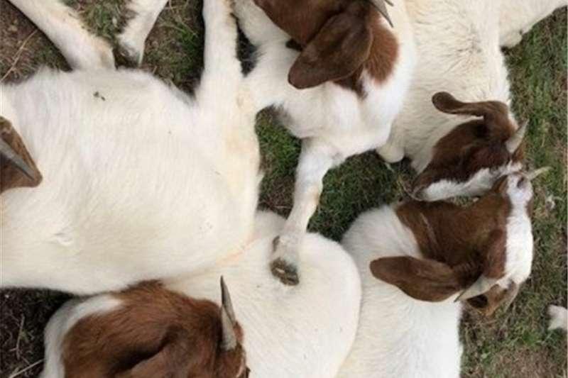 Livestock Goats 30 boer goats for sale