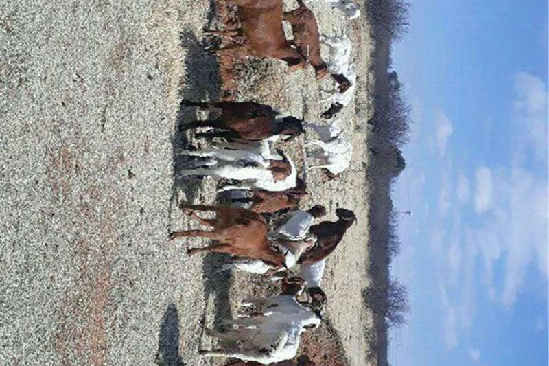 Livestock Goats 60 boer goats for sale
