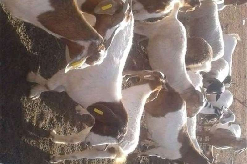 Livestock Goats boerbok for sale