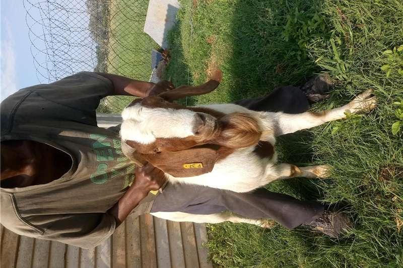 Livestock Goats Boerbok Ram for sale