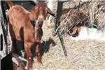 Livestock Goats Boerbokke en gemengde bokke beskikbaar