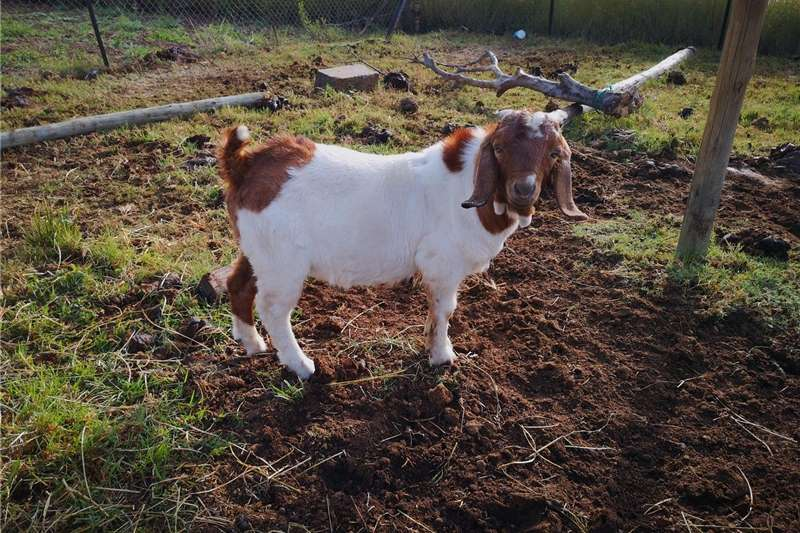 Livestock Goats Boerbokke for sale(7month & 9 months old)