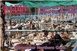 Livestock Goats Goats and sheep Tuesdays