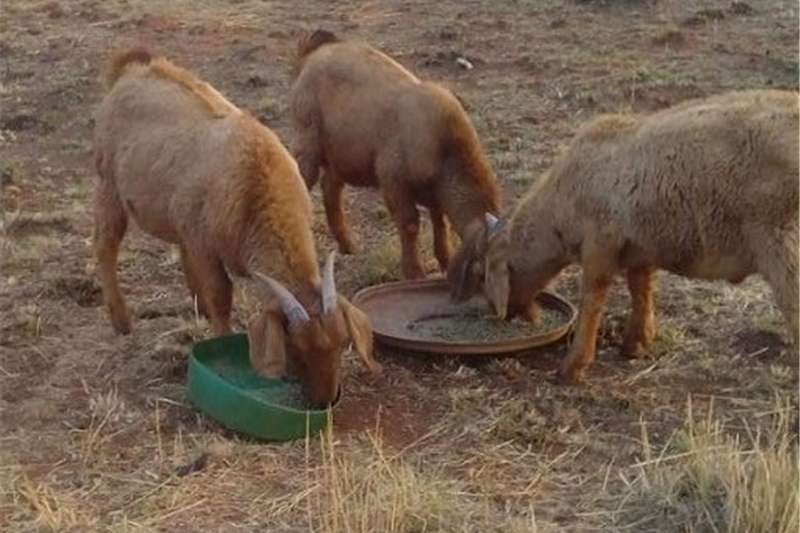 Goats Kalahari Red Rams For Sale Livestock