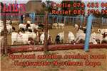 Livestock Goats Qurbani auction 18 July at Liba Auctioneers in Har