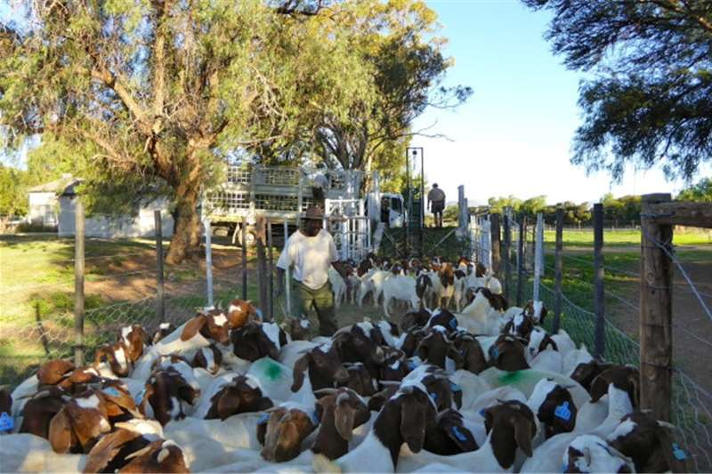 Goats Typical South African Boer Goat Buck,Does and Kids Livestock
