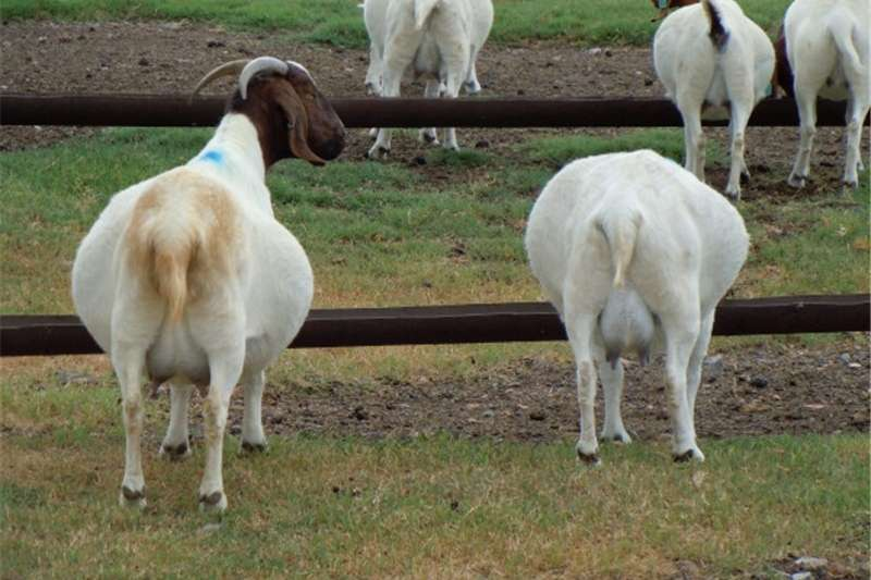 Livestock Goats Typical South African Boer Goat Buck,Does and Kids