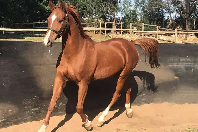 Horses Arabian Mare Livestock