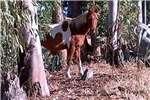Livestock Horses Pinto Pony Mare