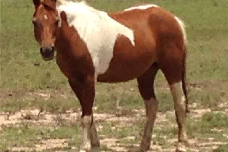 Horses Pinto Pony Mare Livestock