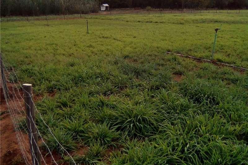 Livestock feed Plant winter weiding nou   meerjarig, immergroen e Livestock