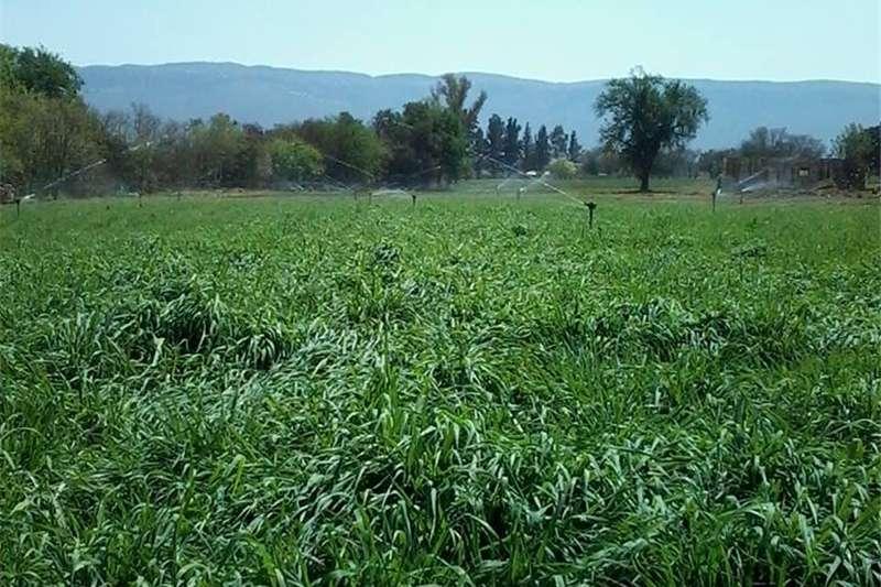 Livestock feed Russiesegras is meerjarig, immergroen en rypbestan Livestock