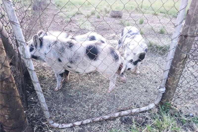 Pigs Kolbroek pigs for sale Livestock