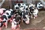 Livestock Pigs Kolbroek Pigs for sale