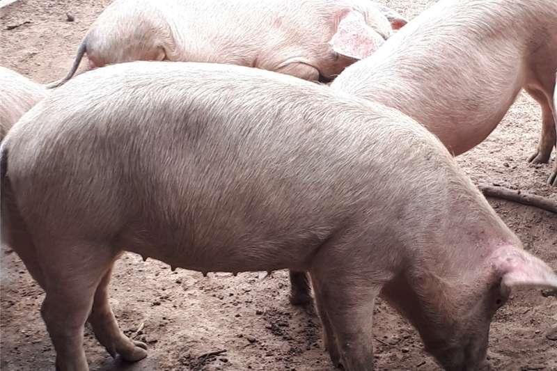 Pigs Landras Pigs Livestock