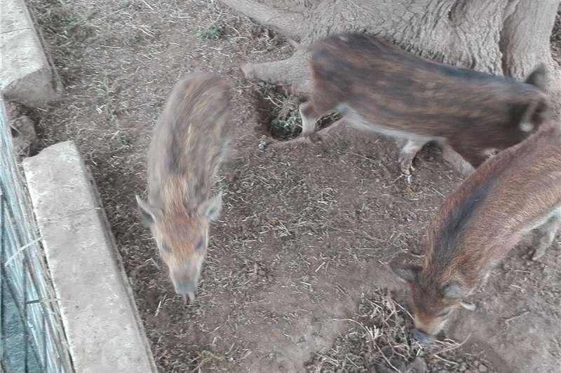 Pigs Pigs for sale from R 350 depending on size Livestock