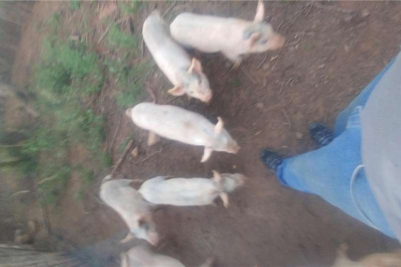 Livestock Pigs Pigs for sale