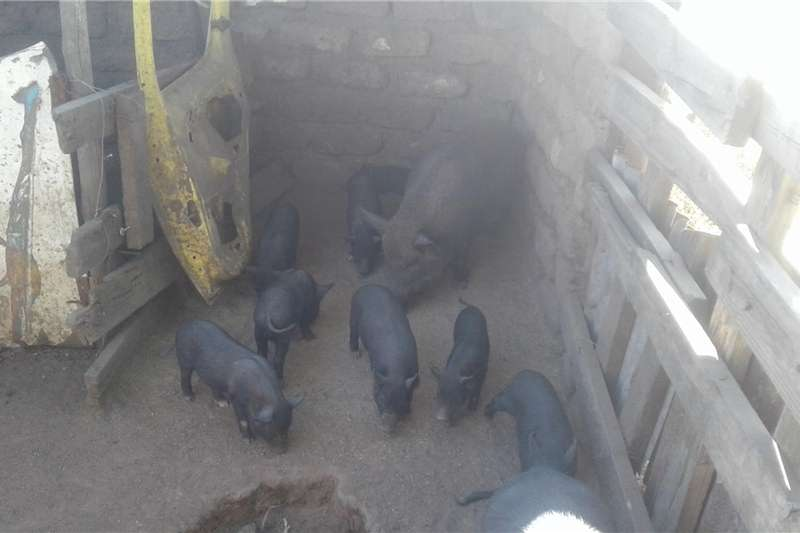 Pigs Selling Pigs Livestock