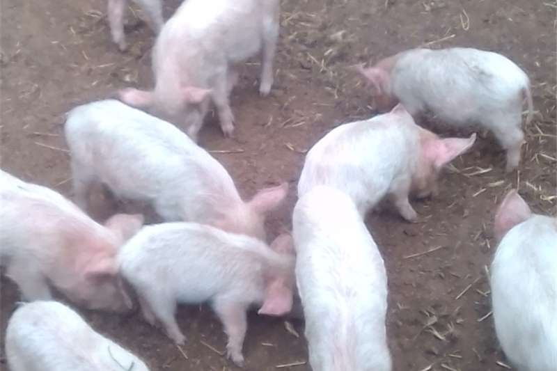 Pigs Weaners large white landrace cross  2months old Livestock