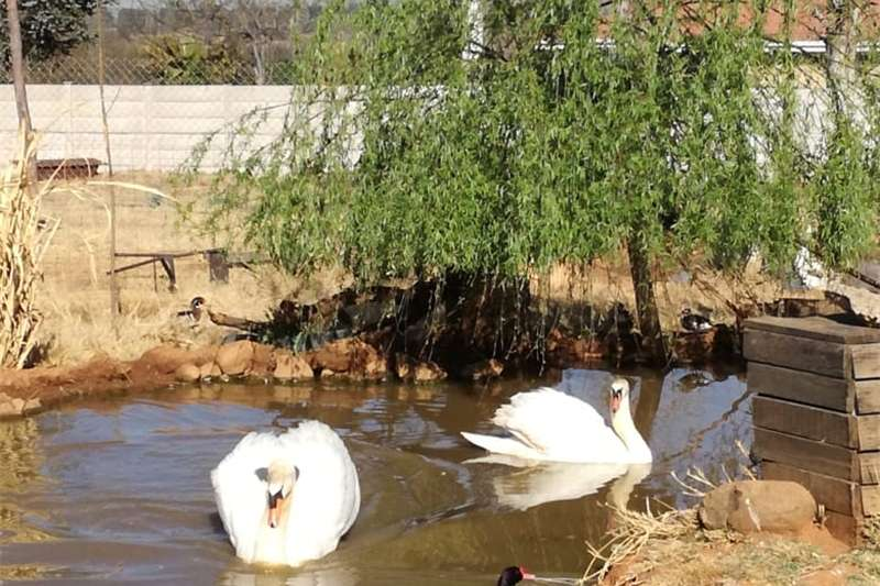 Poultry Adult breeding pair mute swans Livestock
