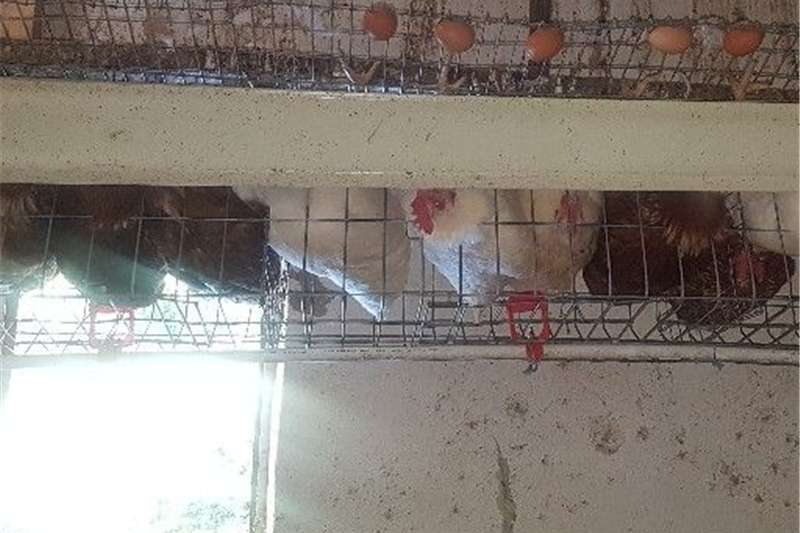 Poultry layer cages for sale Livestock