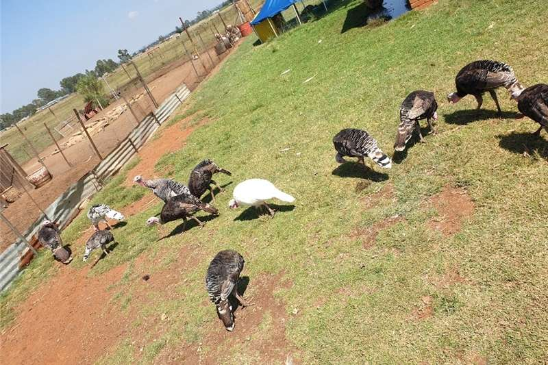 Livestock Poultry Turkeys for sale