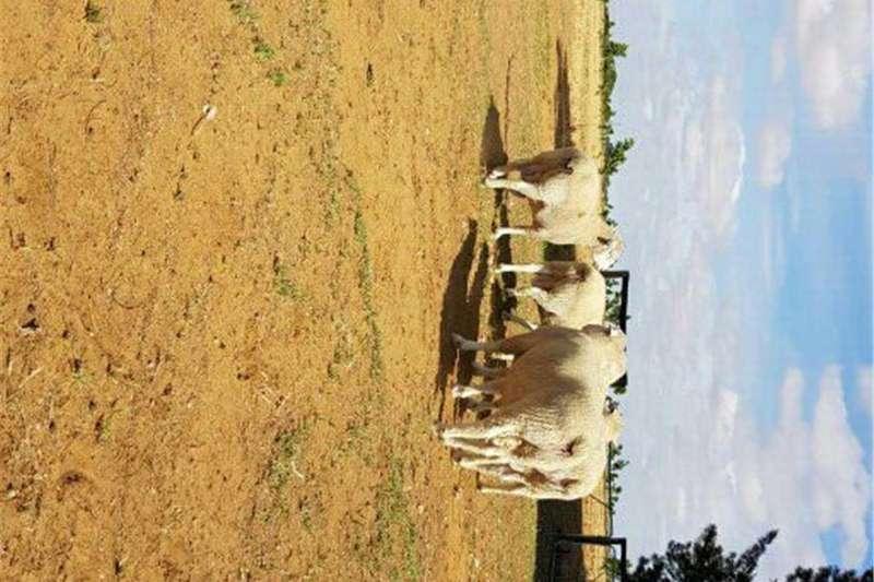 Sheep DORMER RAMME TE KOOP Livestock