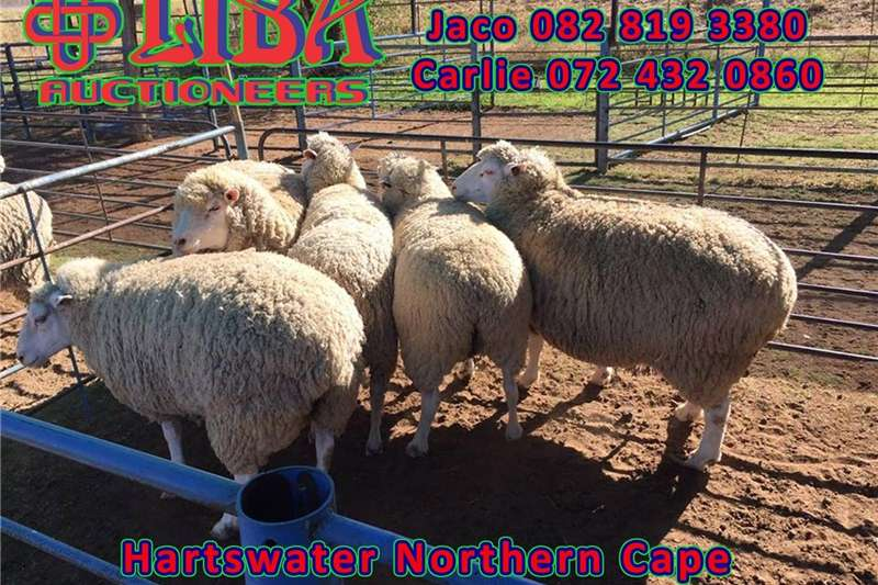 Livestock Sheep  Livestock auction this coming Wednesday at 10 AM