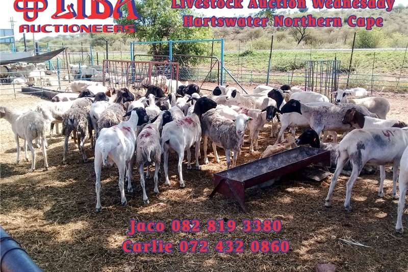 Sheep Livestock auction this coming Wednesday at 10 AM Livestock